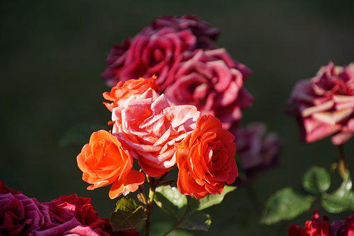 Rose, Blossom, Bloom, Close, Rosaceae, Red, Purple