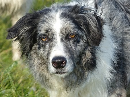 Dog, Border Collie, Collie, Pet, Border-collie