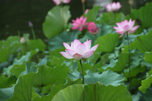 Lotus, Flower, Lotus Leaf