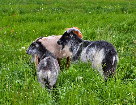 Goats, Pasture, Grey White