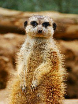 Meerkat, Animal, Nature, Zoo, Tiergarten, Curious, Sit