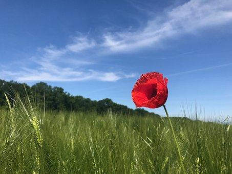Poppy, Field, Nature, Summer, Meadow, Flowers