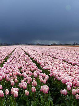 Flowers, Tulips, Nature, Bloom, Netherlands, Holland