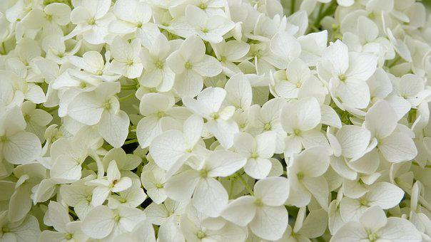 White Flowers, Hydrangea, Annabelle, Ornamental Shrub