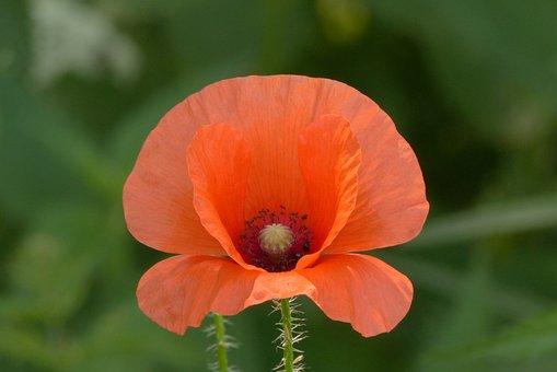 Poppy Field, Flower, Flora, Nature, Meadow, Plant