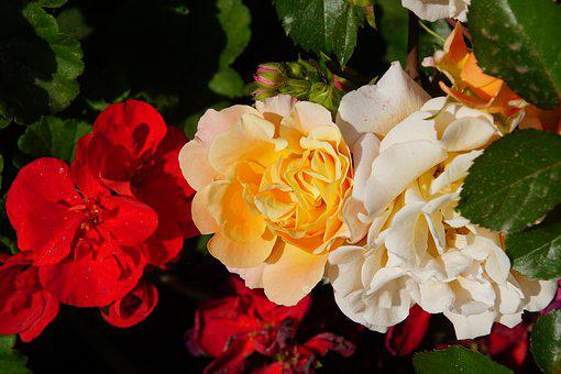 Rose, Blossom, Bloom, Close, Rosaceae, Red, Orange