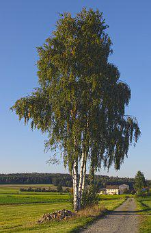 Landscape, Birch, Tree, Series, Meadow, Pin Country