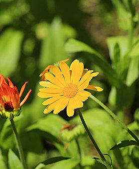 Flower, Calendula, Summer, Nature, Flowers, Bright