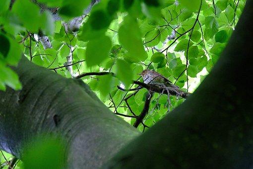 Throttle, Bird, Book, Beech Wood, Avenue, Nature, Trail