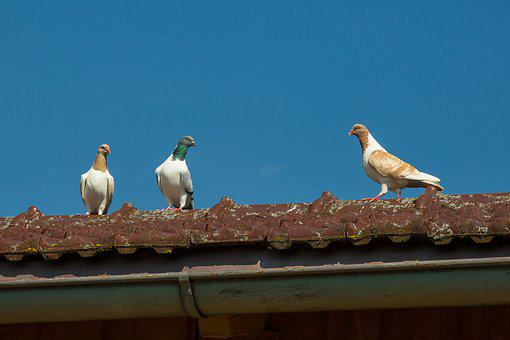 Dove, Bird, Feather, Plumage, Roof
