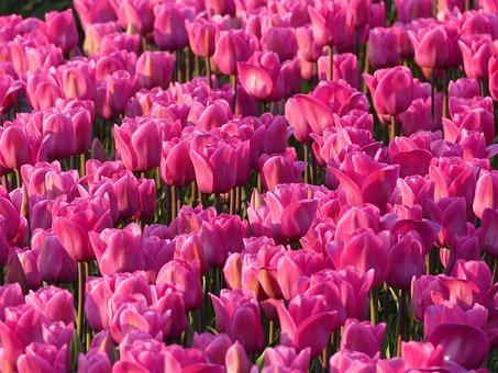 Tulips, Bulbs, Bulb, Pink, Tulip Fields, Flower, Merry