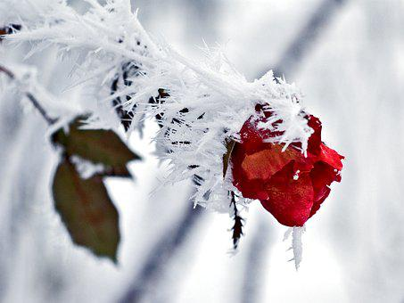 Rose, Ice, Snow, Winter, Cold, Nature, Flower, Blossom