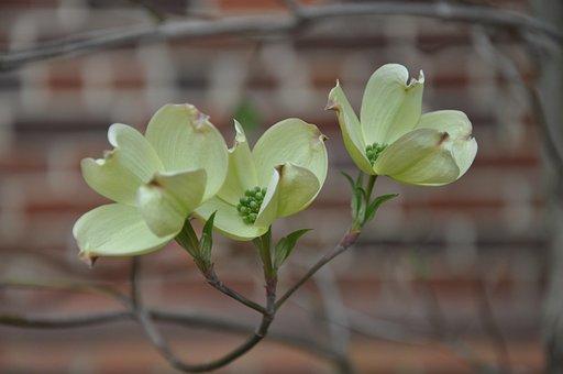 Dogwood, Flower, Plant, Spring, Flora, Wild, Bud
