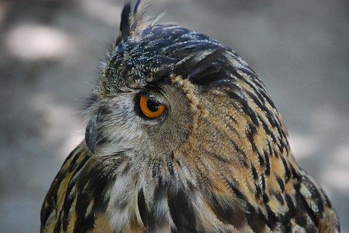 Owl, Ave, Bird Of Prey, Feathers, Animal, Bird, Buho