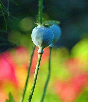 Flower, Poppy, Pistil, Garden, Field