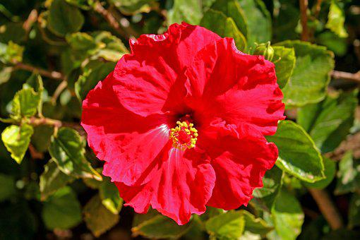 Hibiscus, Flower, Red, Floral, Nature, Blossom, Garden