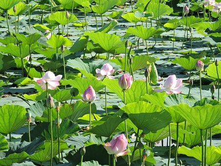 Lotus, Marsh, Natural, Water Lily, Green