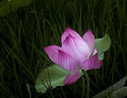 Lotus, Lonely, Leaning