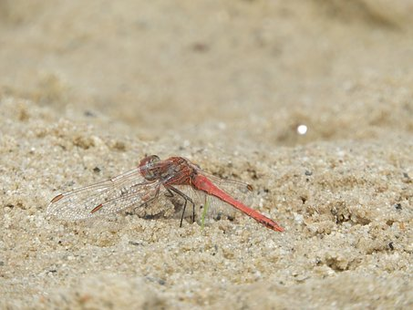 Dragonfly, Wing, Insect, Sand, Orange