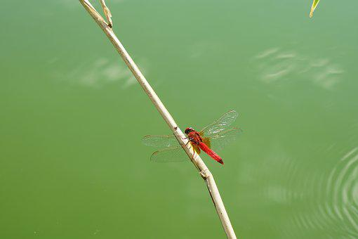 Red Dragonfly, Insect, Wildlife Photography