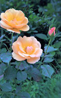 Roses, Rosebush, Rose Flower, Yellow Orange