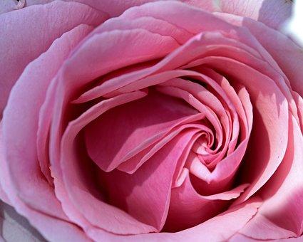 Rose, Pink, Spain, Garden, Flower, Romance, Petal