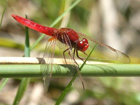 Red Dragonfly, Stem, Erythraea Crocothemis