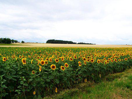 Sunflower Land, Agriculture, Summer