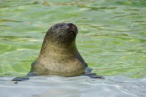 Seal, Aquarium, Water, Seal Station, Ecomare Texel