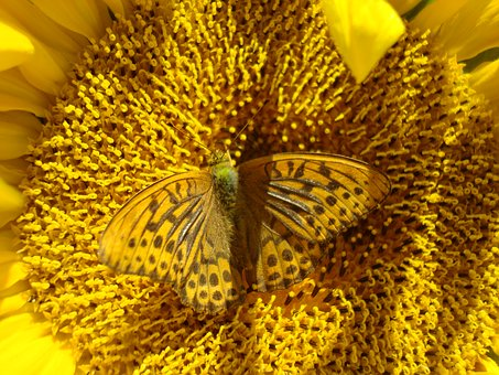 Sunflower, Butterfly, Yellow, Insect