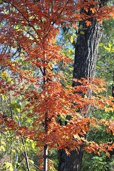Maple, Tree, Leaves, Nature, Golden Autumn, Autumn