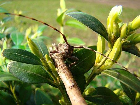 Zimmermann Bock, Zimmermann Longhorn Beetles, Beetles