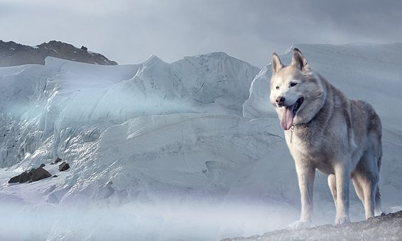 Husky, Dog, Glacier, Ice Age, Winter, Climate, Cold