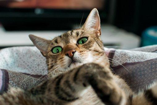 Cat, Dachowiec, Dream, Szarobury, Kitten
