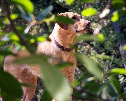 American Labrador Retriever, Dog, Fox Red