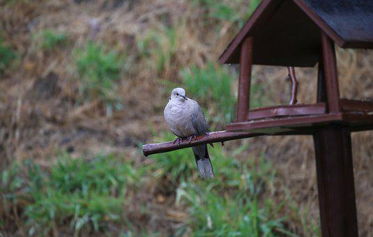 Dove, Collared, Bird, Feather, Plumage, Nature