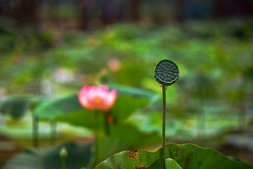 Lotus, Flower, Cold Good Work