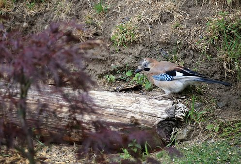 Jay, Bird, Foraging, Feather, Plumage, Nature