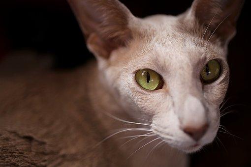 Cat, Eye, Green, Green Eye, Oriental Shorthair, View