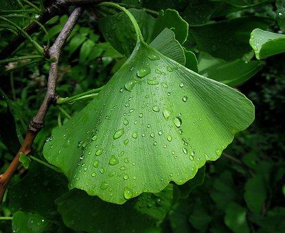 Foliage, Ginkgo Leaf, Ginkgo Biloba, Fern Pine, Green