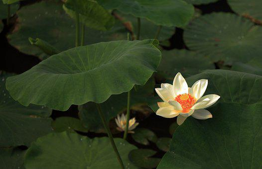 Lotus, Flower, Works