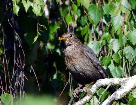 Bird, Merle, Tree, Nature, Ornithology, Beak, Feathers