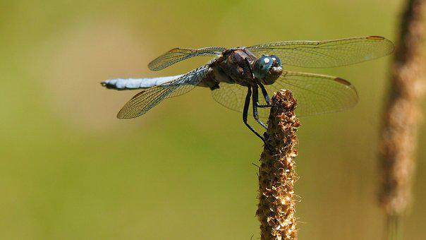Nature, Insect, Dragonfly, Macro
