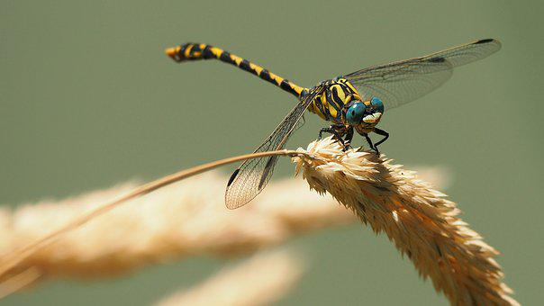 Nature, Insects, Dragonfly, Macro