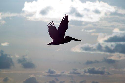 Pelicans, Flight, Silhouette, Birds, Sky