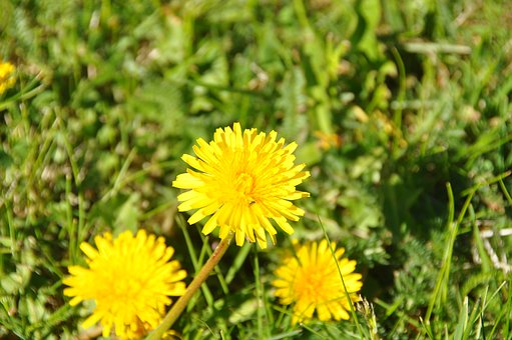 Flower, Nature, Finland, Summer