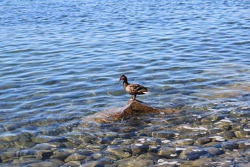 Duck, Lake, Water, Water Bird, Animal, Waters, Nature