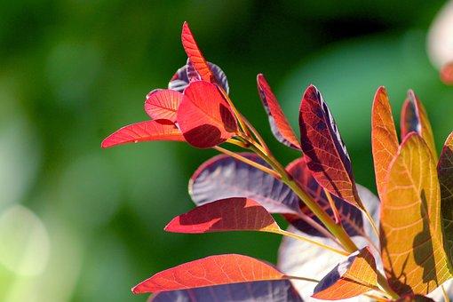 Ornamental Shrub, Leaves, Red, Bush, Wig Brush, Plant