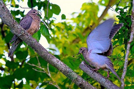 Mourning Dove, Birds, Wildlife, Nature, Animal, Wild