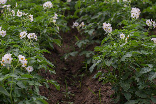 Potato Field, Potatoes, Blooming Potatoes, Flowers